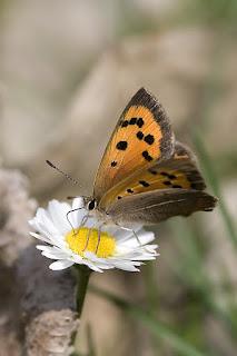 Para ampliar Lycaena phlaeas (Manto bicolor) hacer clic