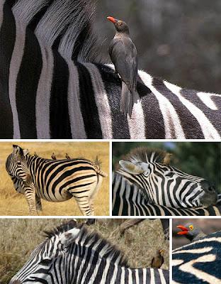 Foto simbiosis mutualisme Zebra dan burung oxpecker