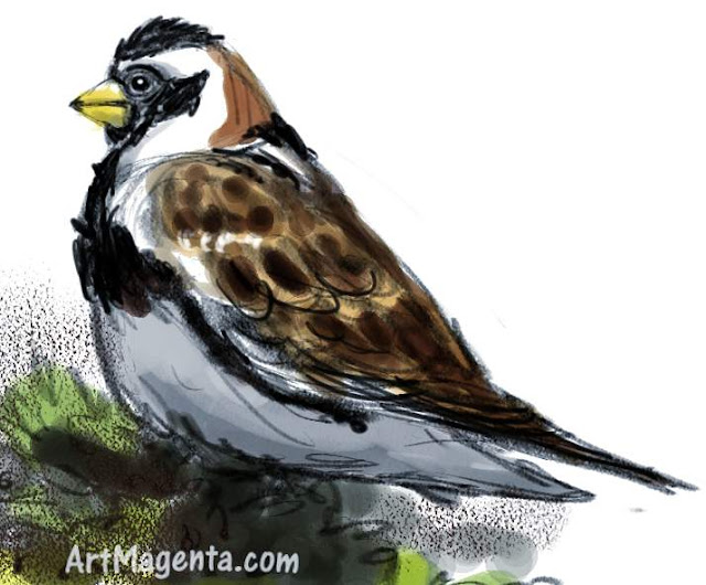 Lapland longspur sketch painting. Bird art drawing by illustrator Artmagenta.