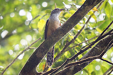 Plaintive Cuckoo_2011