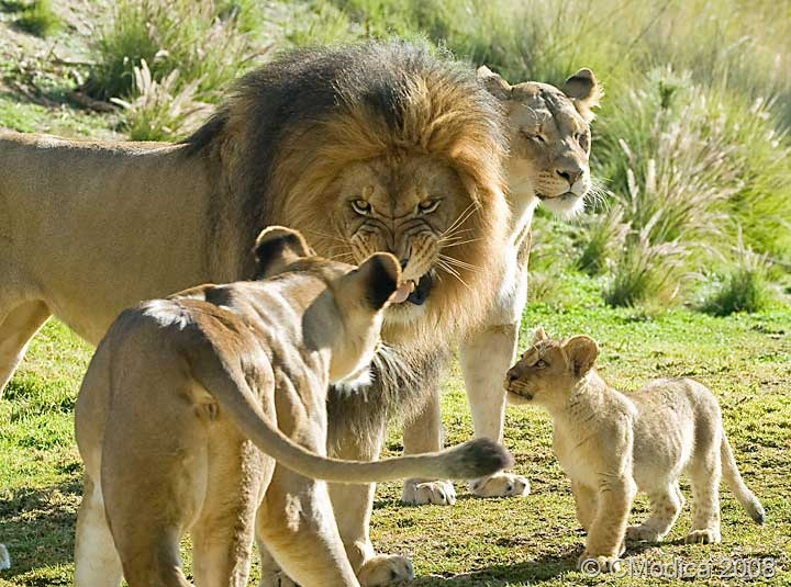 Reality Show Of The World Amazing Lion Pictures