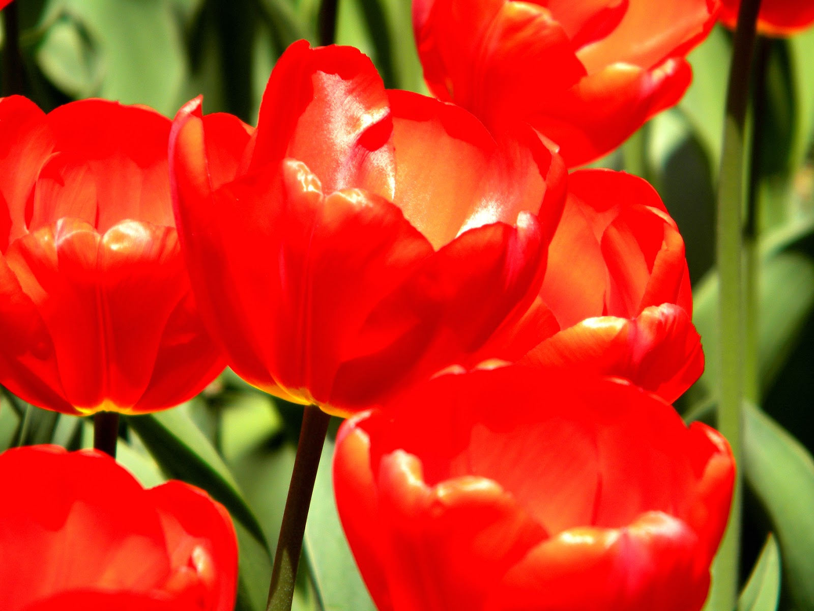 Red Tulips on Park Avenue