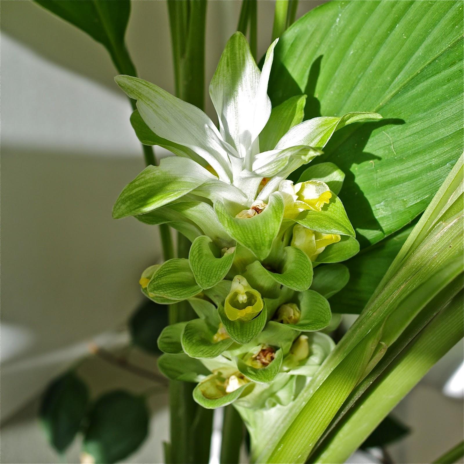 persil et oignon pays curcuma en fleur. Black Bedroom Furniture Sets. Home Design Ideas
