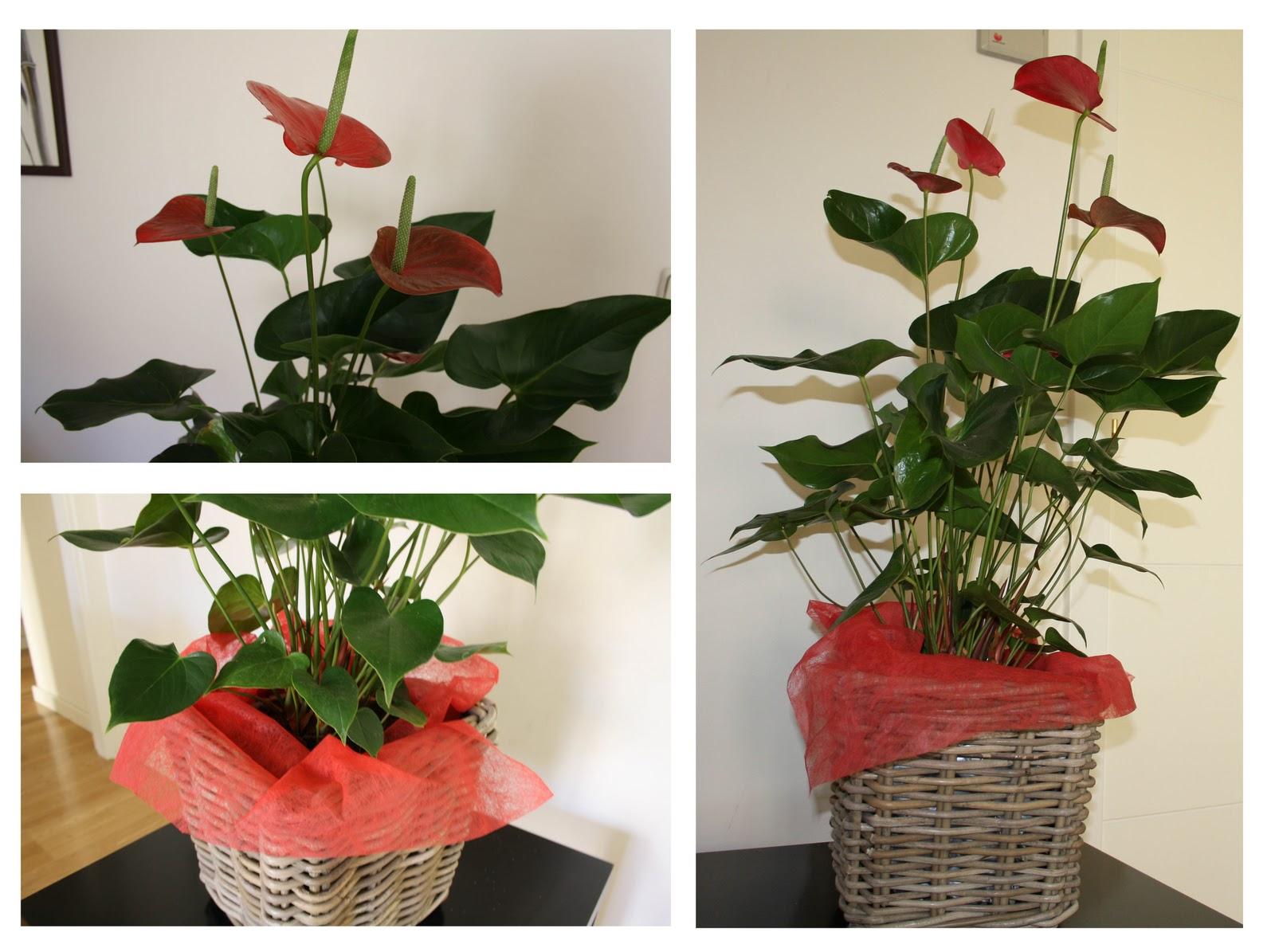 Plantas y flores plantas anturio orquidea phalaenopsis for Jardines de anturios