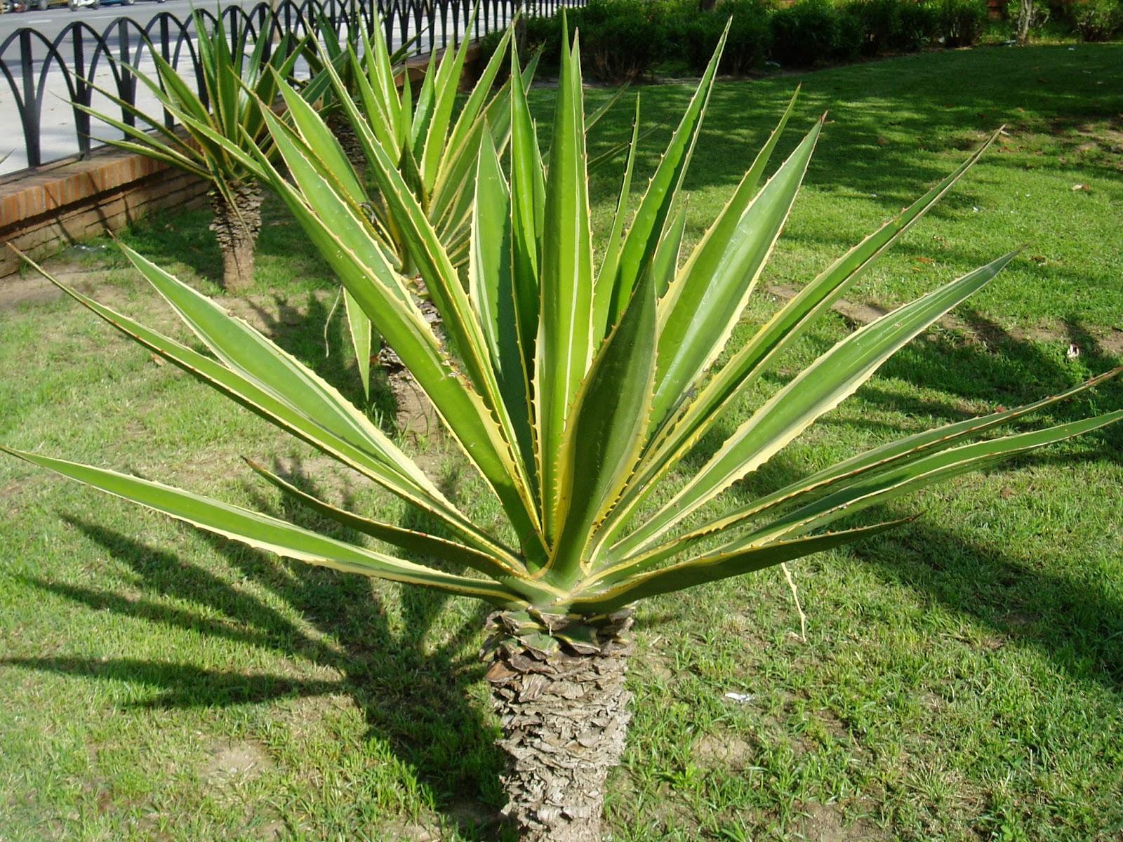 Falso gave furcraea selloa plantas riomoros for Piante a foglia larga da esterno
