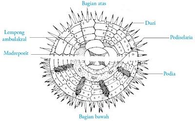 Struktur tubuh Echinus sp. Landak laut