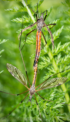 Crane flies mating (c) John Ashley