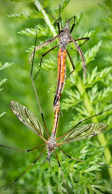 Crane flies mating (c) John Ashley