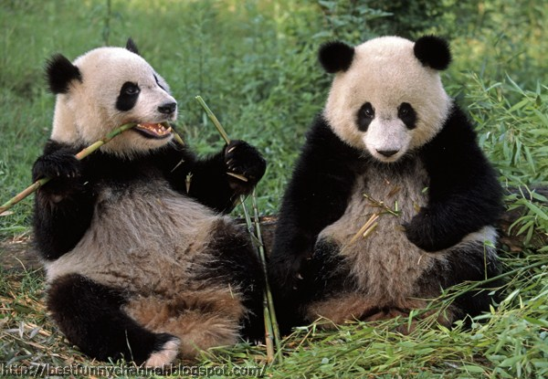 panda bears pictures 5