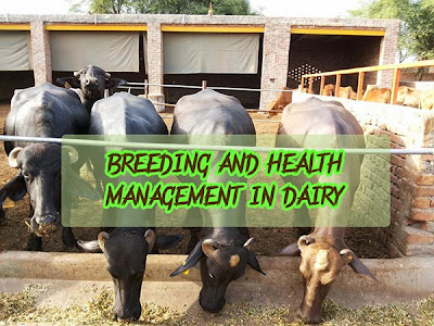 Breeding and health management in dairy