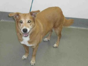 Sasha, our really sweet older mixed breed, is anxious to find her forever home.