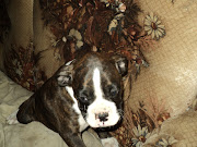 New Boxer Puppies