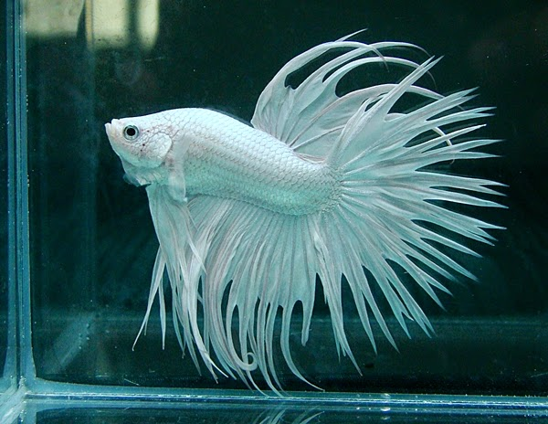 Freshwater frenzy how to breed siamese fighting fish for How to breed betta fish