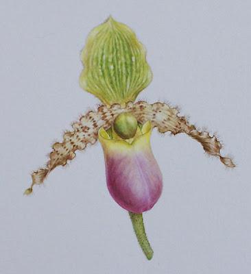 paphio flower