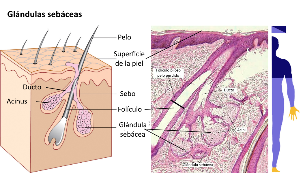 Existen algunas diferencias entre las glándulas sebáceas de diferentes  partes del cuerpo. Así 7e3b647d6165