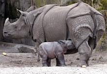 Rinoceronte blindado.