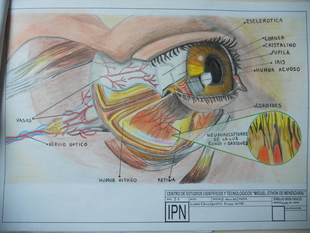 Dibujo Biológico: INTERPOLITÉCNICO formación en anatomía humana