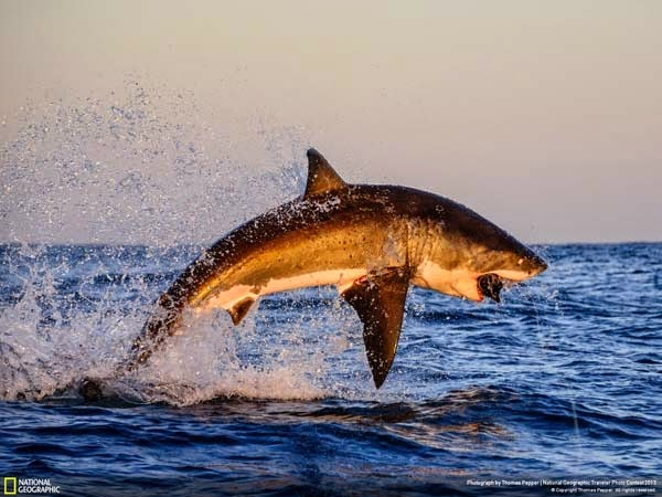 11.) A shark that brings fear to you - 12 Photos That Prove Nature is Awesome