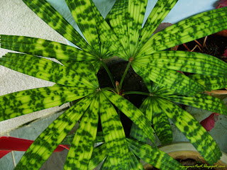 Paradise palm Licuala Mapu, Mapu palm