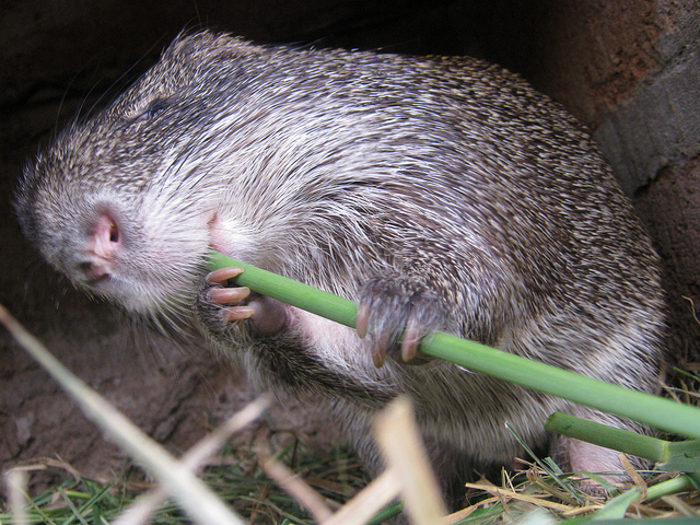 Grasscutter-Great-Cane-Rat