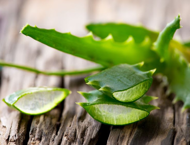 "Aloe Vera And Why Egyptians Called It The ""Plant Of Immortality""  Aloe%2Bvera"