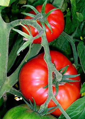 Big Red Tomato