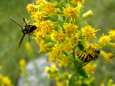 yellow hornets and goldenrod