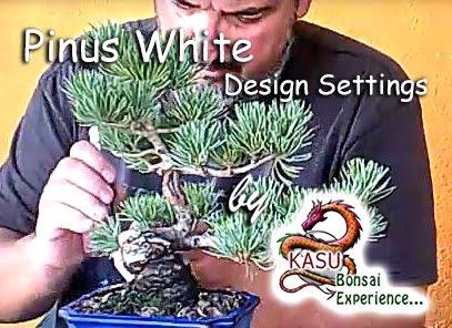 Pinus White