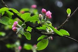 Blüten des Apfelbaums...