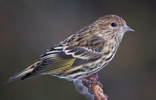 suara-burung-pine-siskin