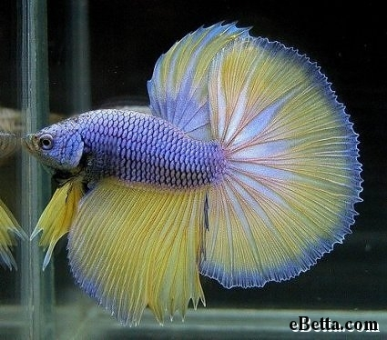 Nature lover betta fish for Betta fish personality