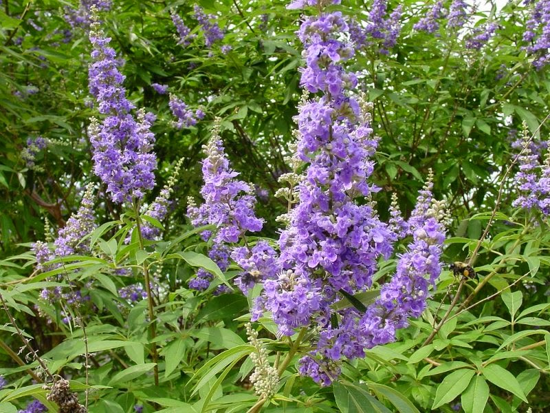 Benefits Of Chasteberry (Vitex Agnus-catus) For Health