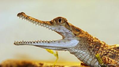 Crocodilos dormem com um olho aberto em alerta