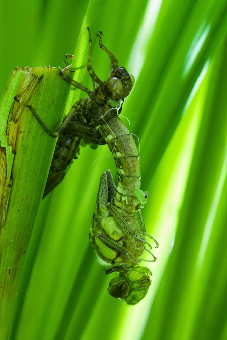 emerging emperor dragonfly-photo taken at 10.18 am