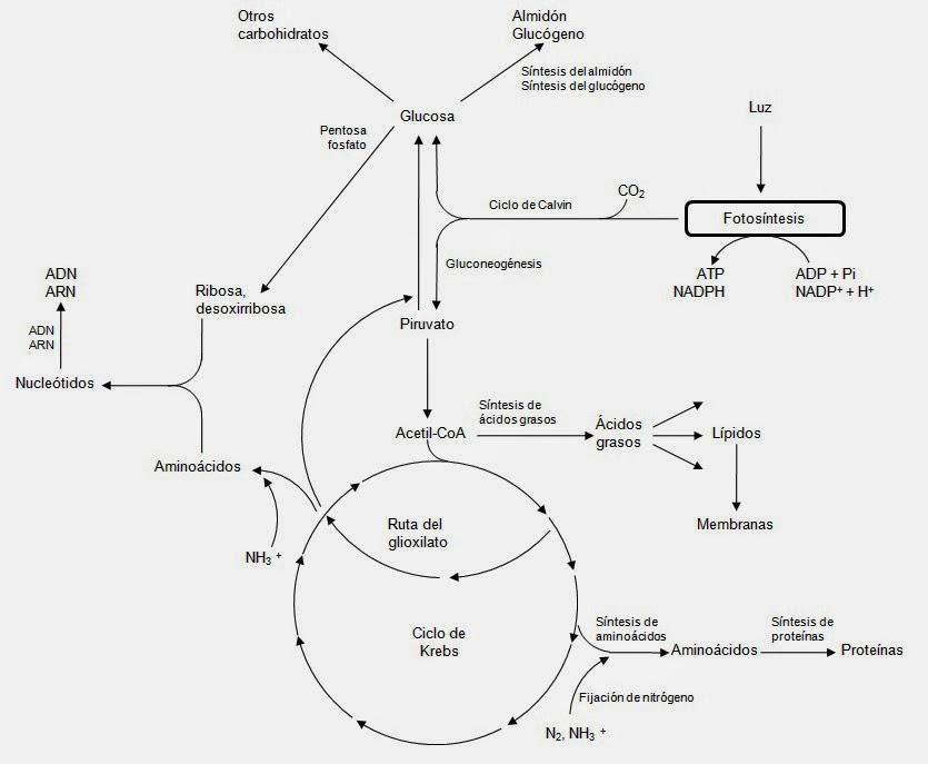 gluconeogenesis anabolic