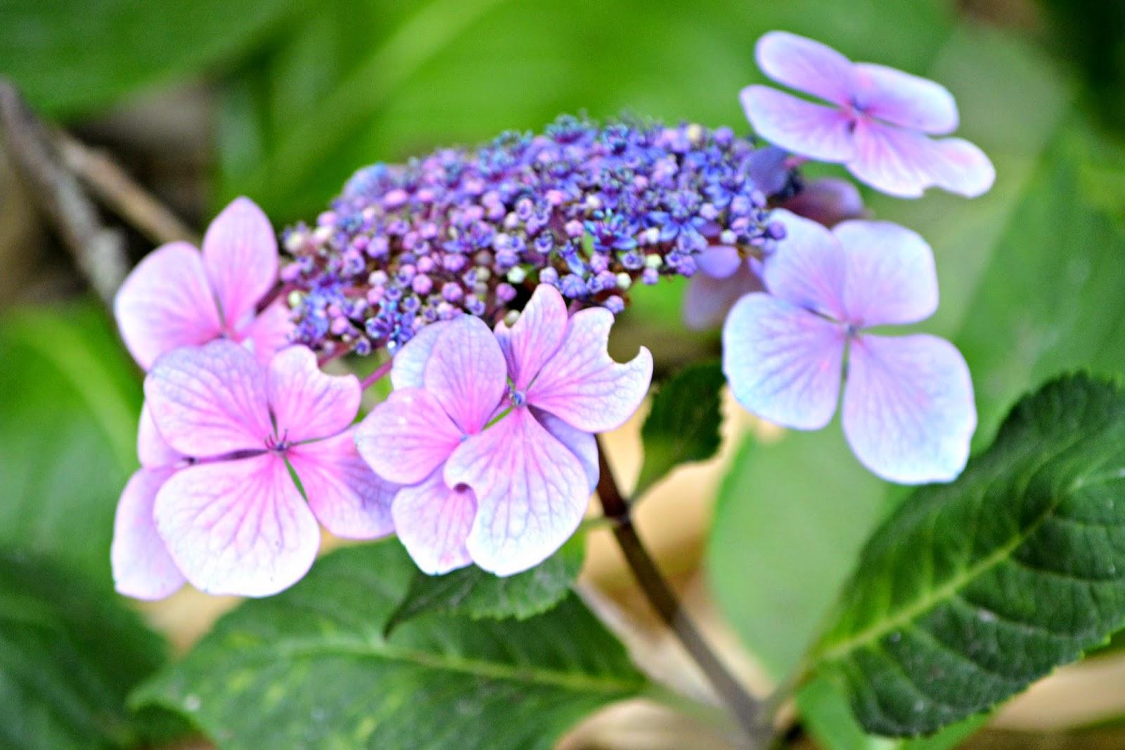 Purple flowers in Tresco Abbey Gardens Isles of Scilly