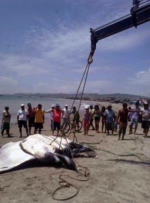 20Ft. giant manta ray lifted out of the water!