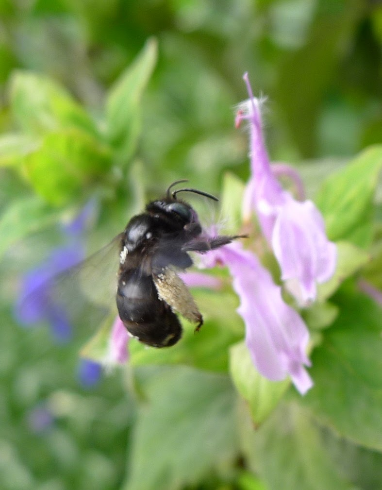 Valley Carpenter Bee, pollinators, urban farming