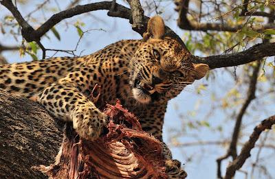 grandes-felinos-da-africa-africanos