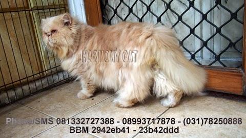 Hamster Dan Kucing Persia Murah Surabaya Kucing Jantan