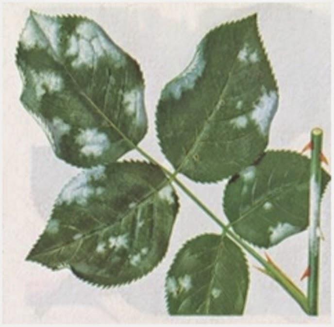 Appunti verdi i segreti del giardiniere per avere rose for Malattie delle rose