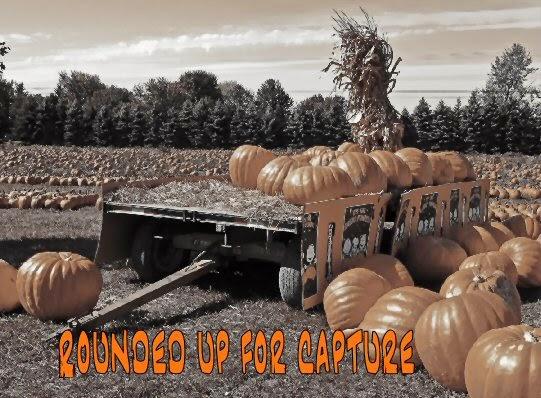 pumpkin field ready for harvest - pumpkin hunt begins