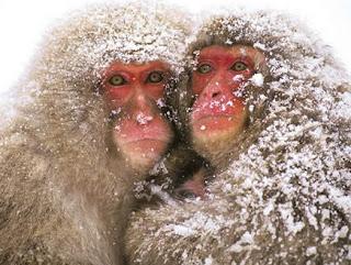 gambar Monyet Jepang yang homo-Binatang-Binatang dan hewan Yang Homo di dunia - munsypedia | un1x project