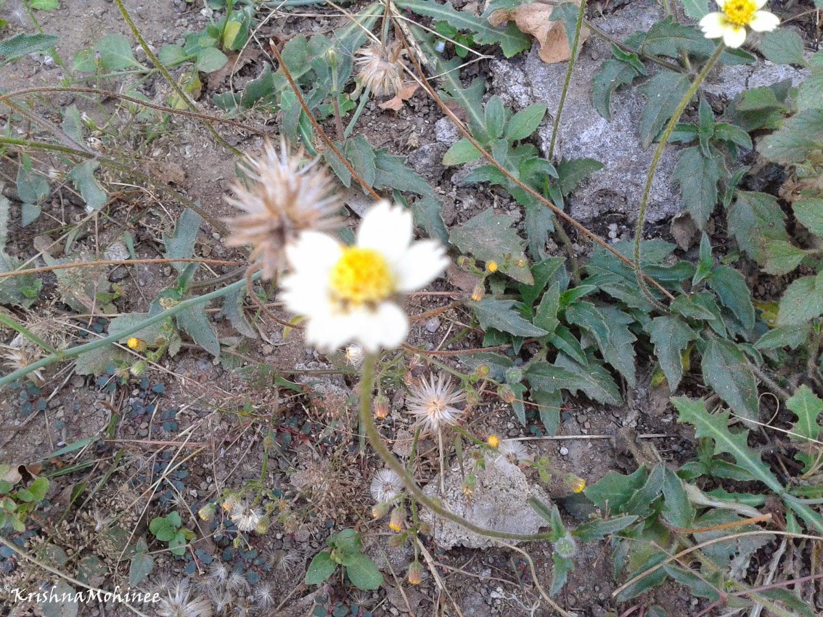 Image: White wild flower
