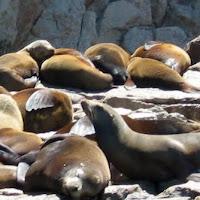 foto leones marinos