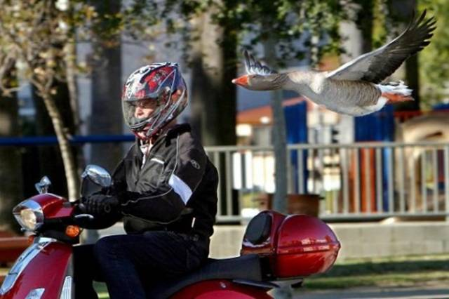 Man and Maria the Goose Become Unlikely Friends