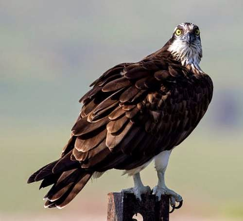Indian birds - Image of Osprey - Pandion haliaetus