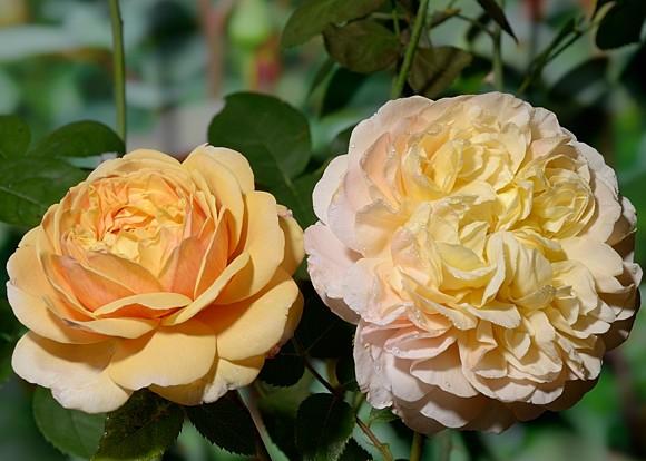 Charles Darwin rose сорт розы фото