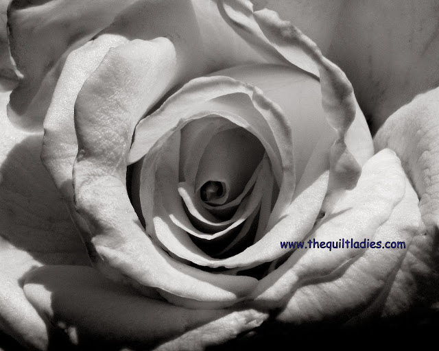 White Rose in Black and White by Beth Ann Strub