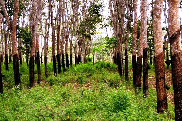Kebun Karet. Kotabumi Lampung Utara